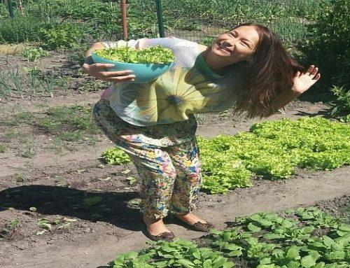 Kodėl labai verta auginti, valgyti SALOTAS ?